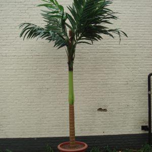 Palmboom 3 meter